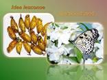 Продажа куколок тропических бабочек, коконы бабочек, ферма - фото 4