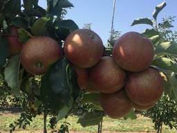 Яблоко - фото 8